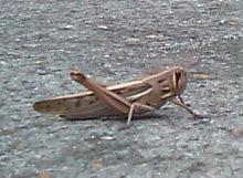 Locust2