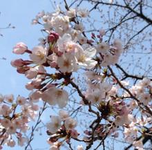 Sakura04022017