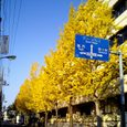 江戸川区役所前の銀杏