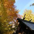 銀杏の黄葉美しい本一色天祖神社