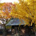 銀杏の黄葉美しい本一色天祖神社2
