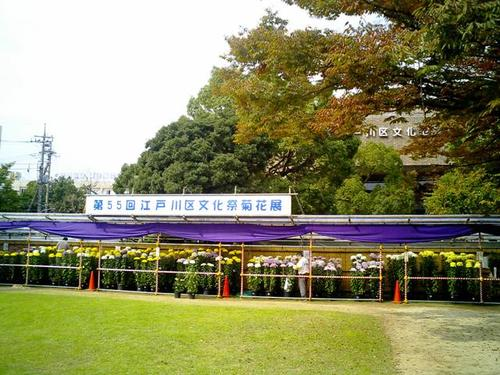 菊花展@江戸川文化センター