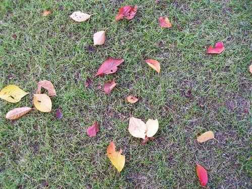 江戸川文化センター前の落ち葉