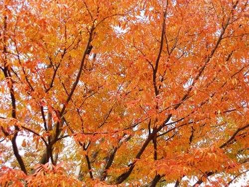 江戸川文化センター広場のケヤキ2