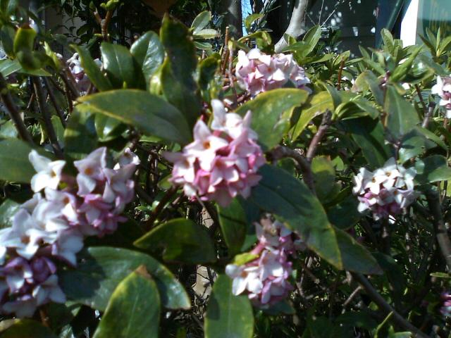春を告げる香り