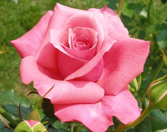 Roseheart2